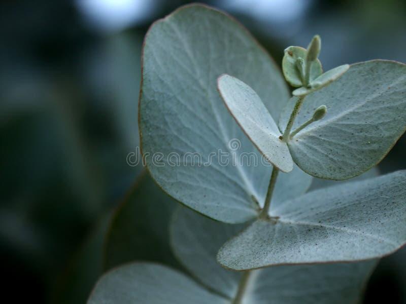 Lames d'eucalyptus photographie stock