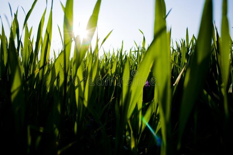 Lames d'herbe photographie stock libre de droits