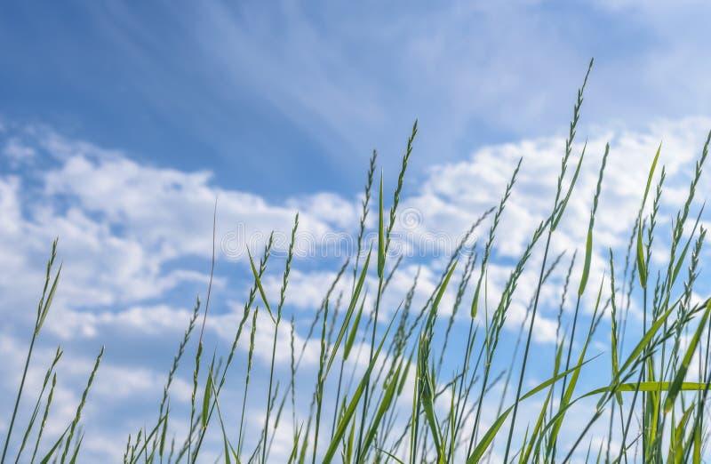 Lames d'herbe avec le ciel bleu images stock