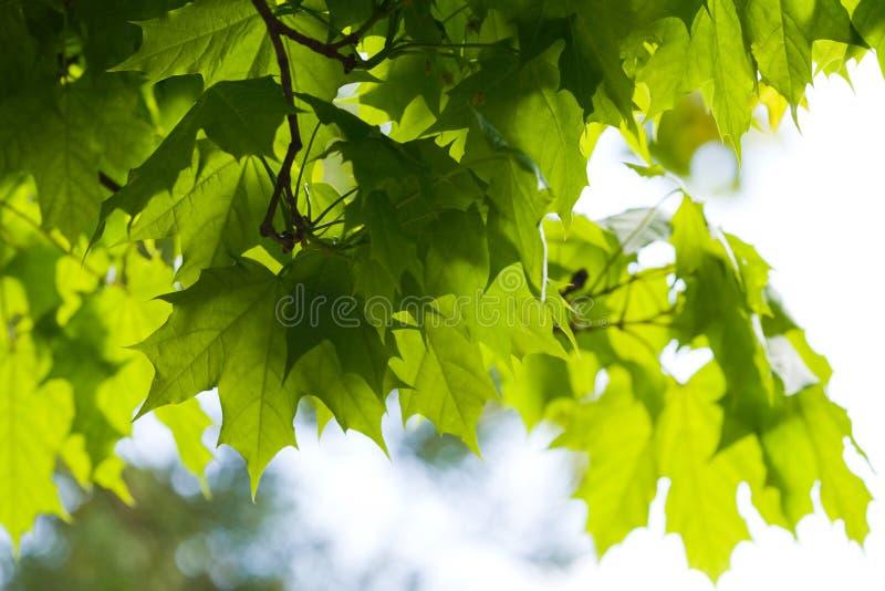 lames de Cendre-arbre photos libres de droits