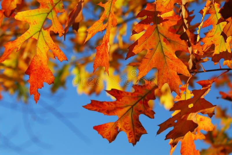 Lames de chêne d'automne images libres de droits