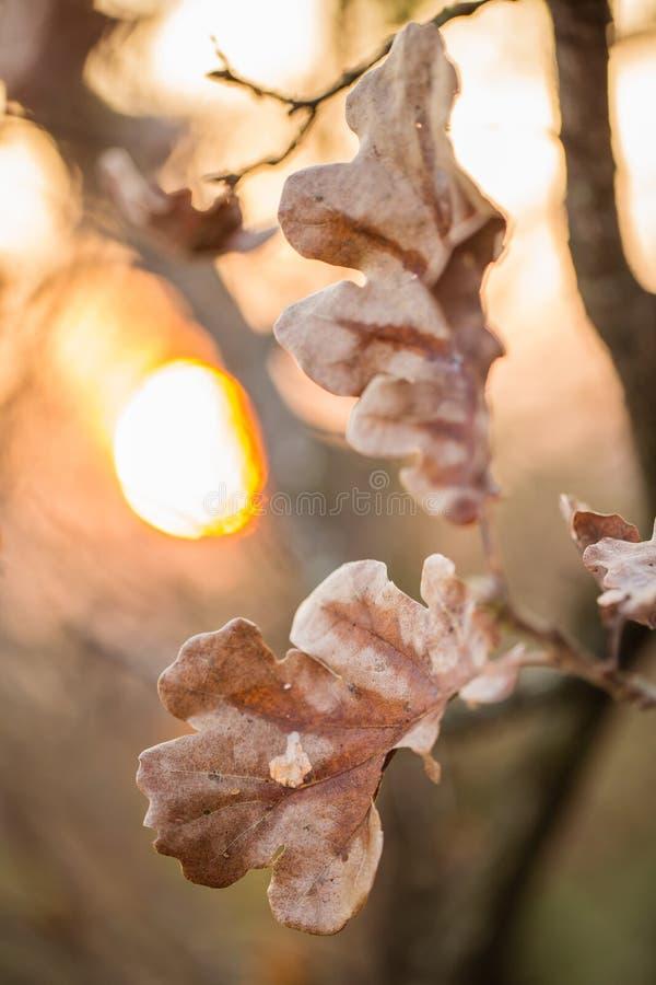 Lames de chêne d'automne au coucher du soleil images libres de droits