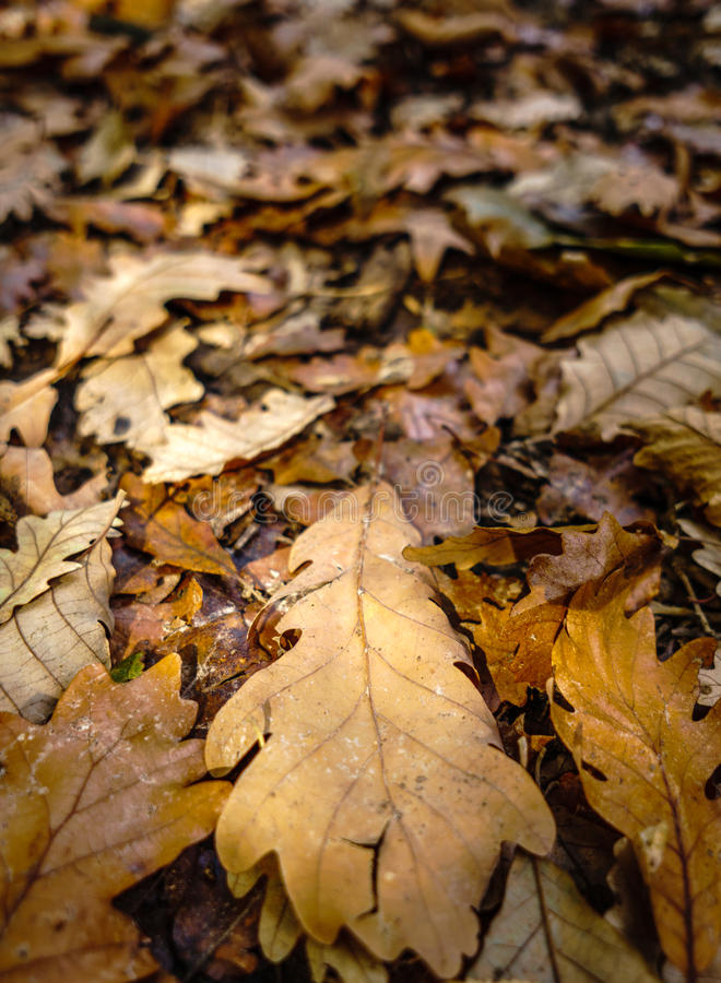 Lames de chêne en automne images libres de droits