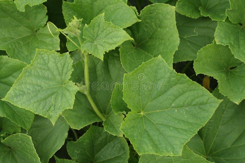 Lames de concombre photo stock