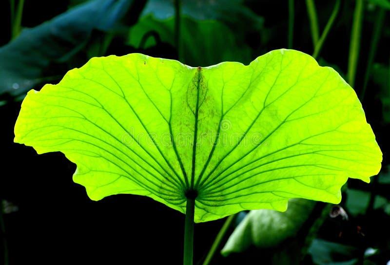 Lames de lotus image stock