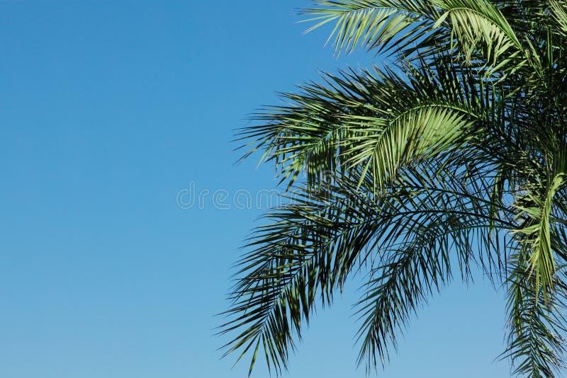 lames de Paume-arbre image libre de droits