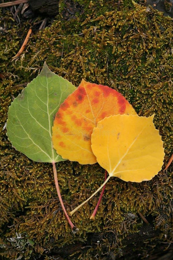 Lames de tremble de temps d'automne d'arbre photo libre de droits