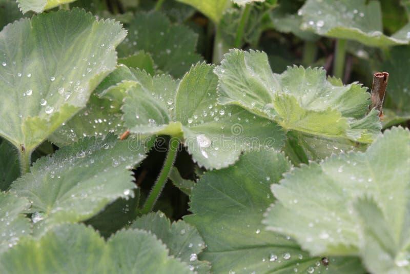 Lames de vert avec des gouttelettes d'eau photo libre de droits
