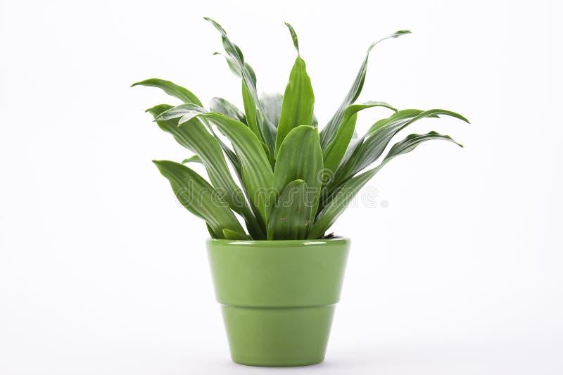 Lames de vert dans le flowerpot photographie stock