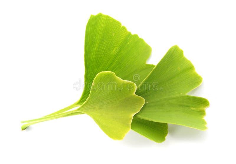lames de vert de ginkgo de biloba photos stock