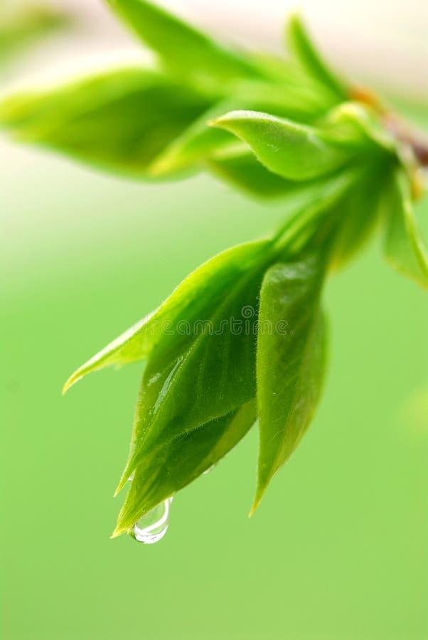 Lames de vert de source photo stock