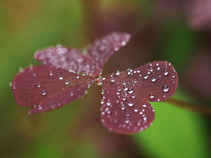 Lames de violette avec des gouttes de pluie images stock