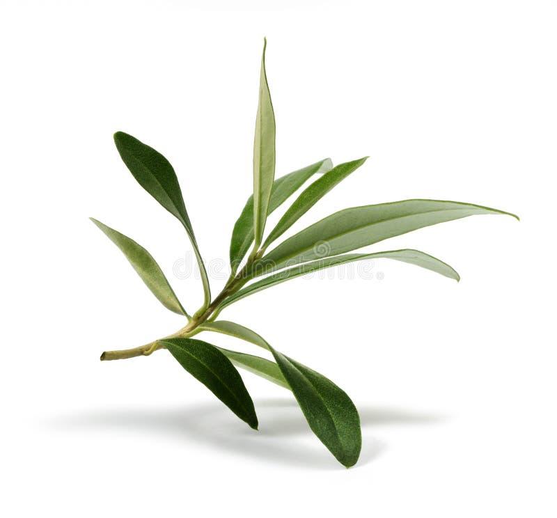 Lames fraîches de branche d'olivier photo libre de droits