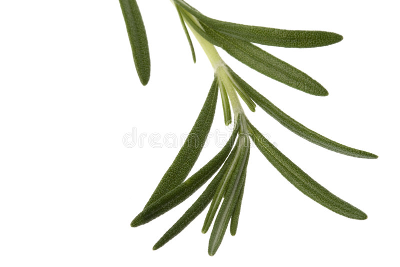Lames fraîches de Rosemary image stock