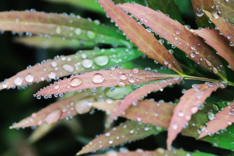 Lames fraîches rouges avec la baisse de l'eau photographie stock libre de droits