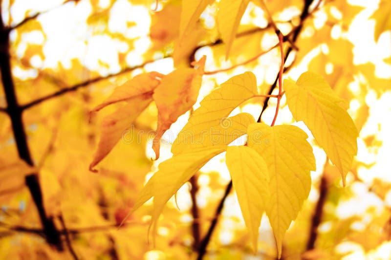Lames jaunes d'automne photo stock