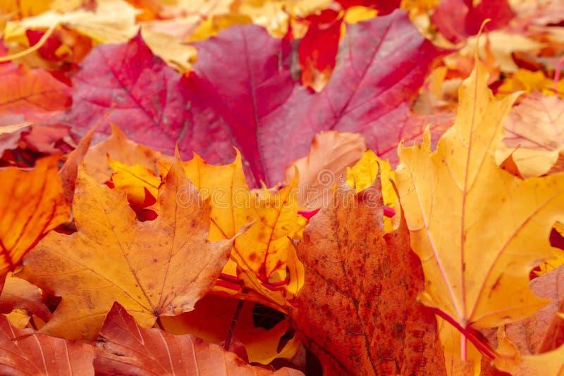 Lames oranges et rouges d'automne d'automne sur la prise de masse image libre de droits