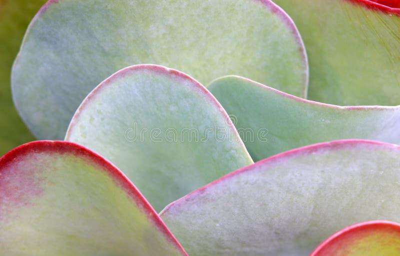 Lames succulentes de centrale photo stock
