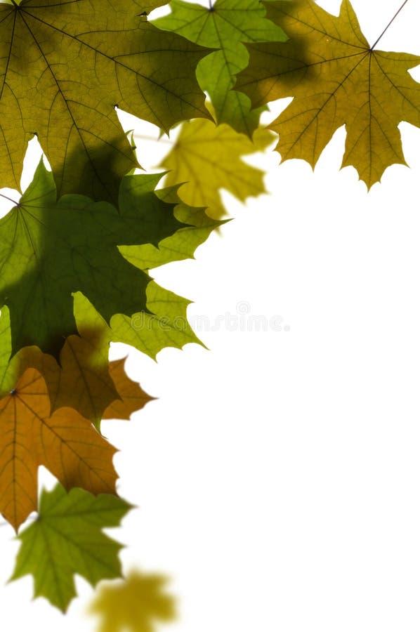 Lames vertes d'arbre d'érable image libre de droits