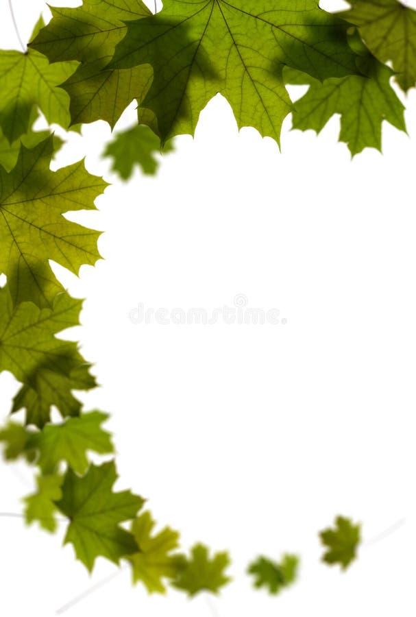 Lames vertes d'arbre d'érable photographie stock libre de droits