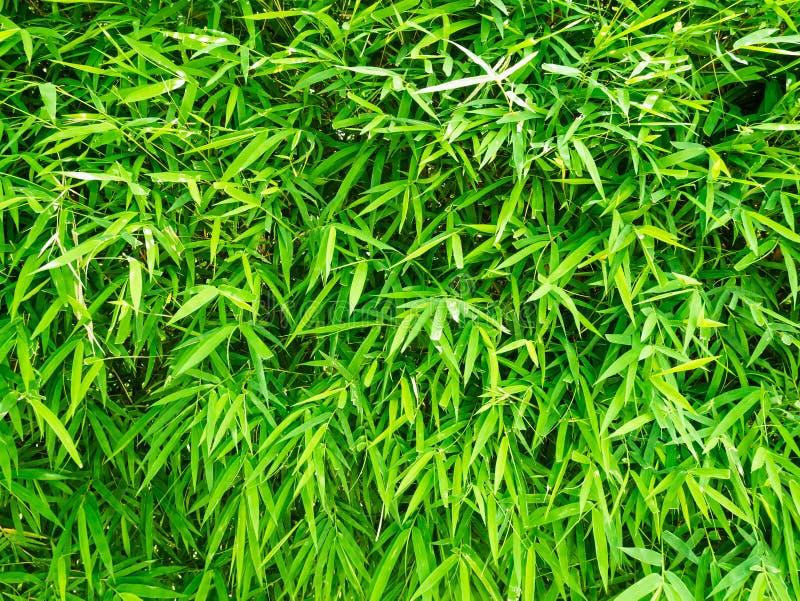Lames vertes de bambou photographie stock libre de droits