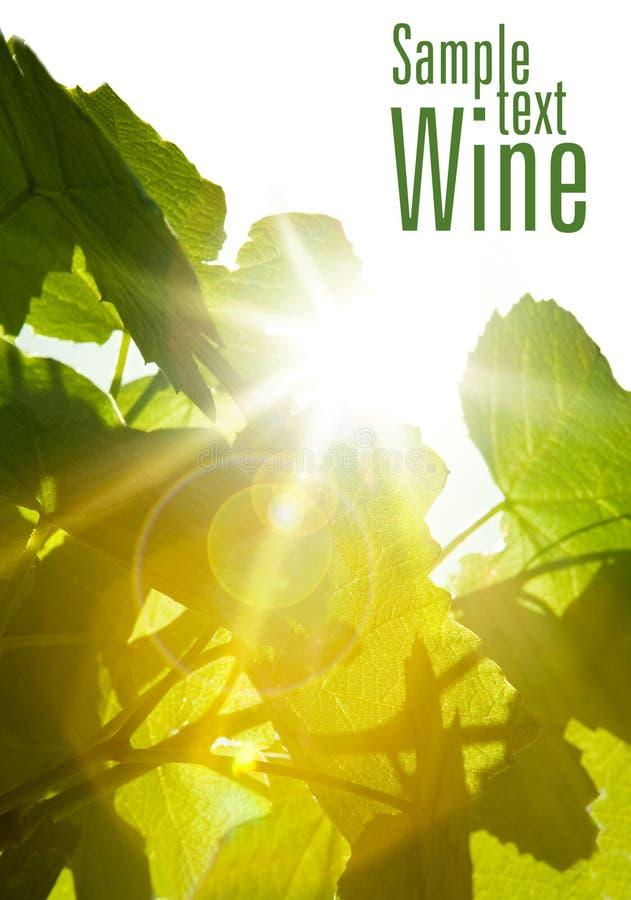 Lames vertes de vin images stock