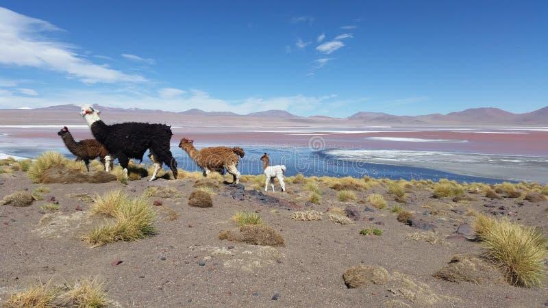 Lames w Boliwia zdjęcie stock