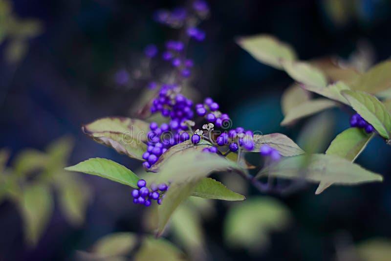 Lamiaceae di Callicarpa dell'arbusto con le bacche porpora fotografia stock libera da diritti