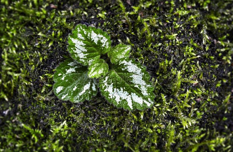 Lamiastrum galeobdolon leaf stock photo