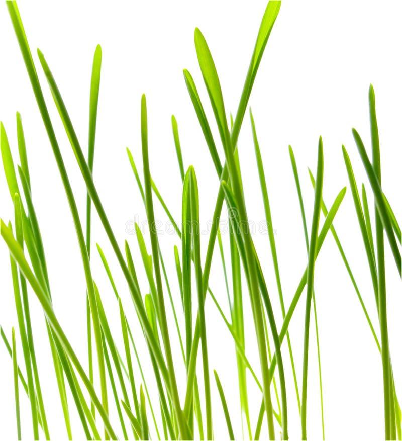 Lamierina di erba verde - isolata immagini stock libere da diritti