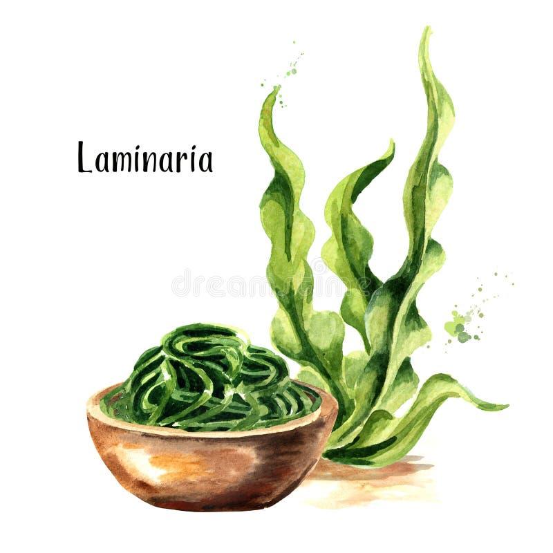 Laminaria, alga, alga Superfood Ilustração tirada mão da aquarela isolada no fundo branco ilustração royalty free