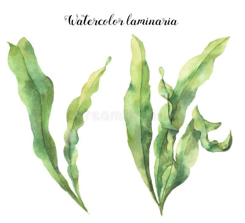 Laminaria dell'acquerello L'illustrazione floreale subacquea dipinta a mano con le alghe lascia il ramo isolato su fondo bianco royalty illustrazione gratis