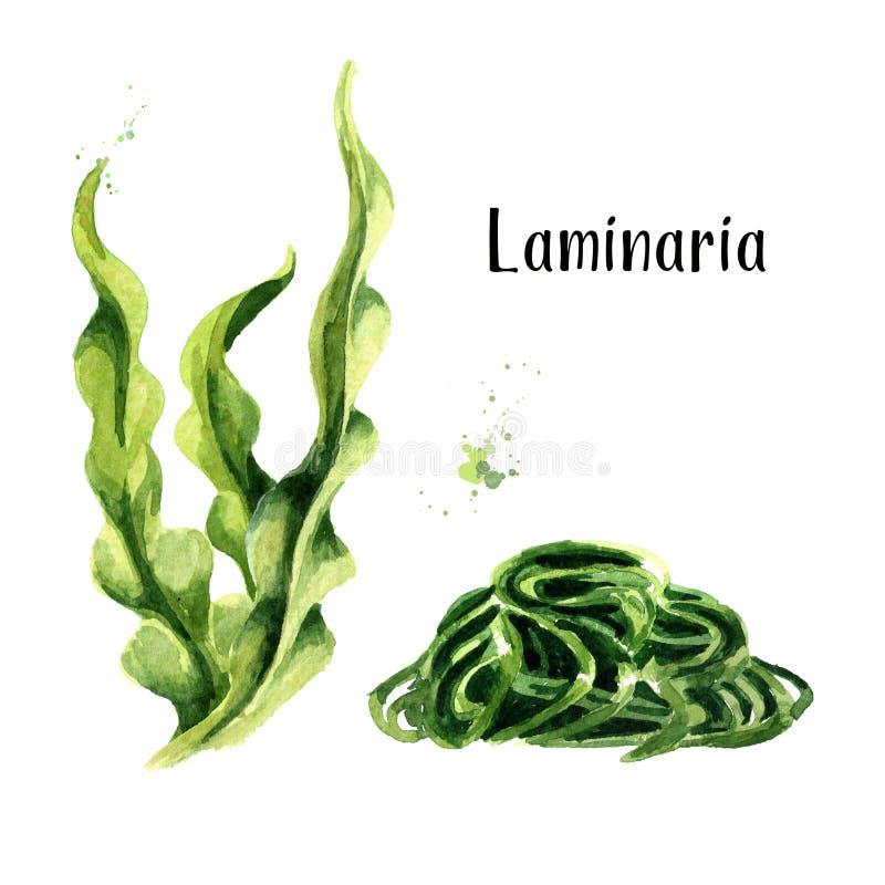 Laminaria, Kelp gałęzatka Superfood set Akwareli ręka rysująca ilustracja odizolowywająca na białym tle royalty ilustracja