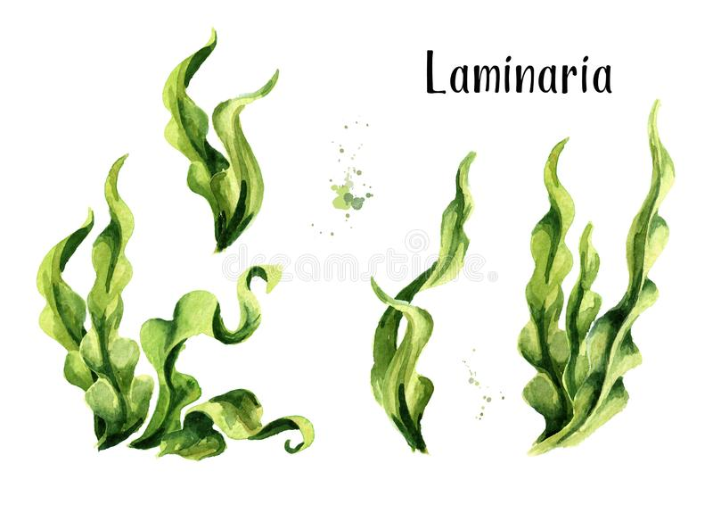 Laminaria seaweed, sea kale. Algae composition set. Superfood. Watercolor hand drawn illustration, isolated on white background. Laminaria seaweed, sea kale stock illustration