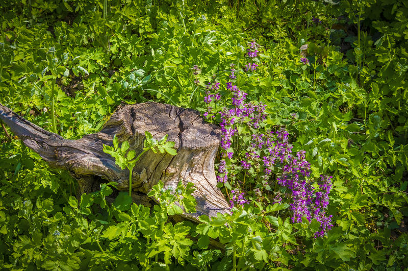 Lamium amplexicaule στοκ φωτογραφίες