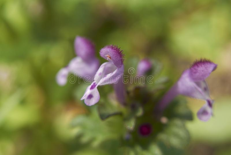Lamium amplexicaule bloesem royalty-vrije stock foto