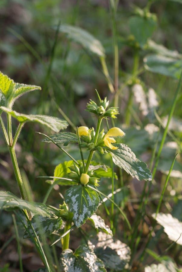 Lamium galeobdolon, κίτρινα λουλούδια αρχαγγέλων στοκ εικόνες