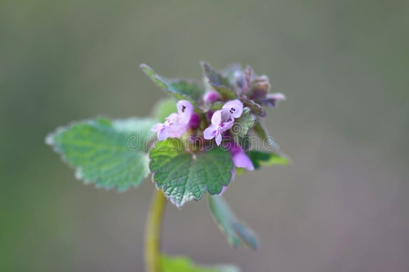 Lamium purpureum zdjęcie stock