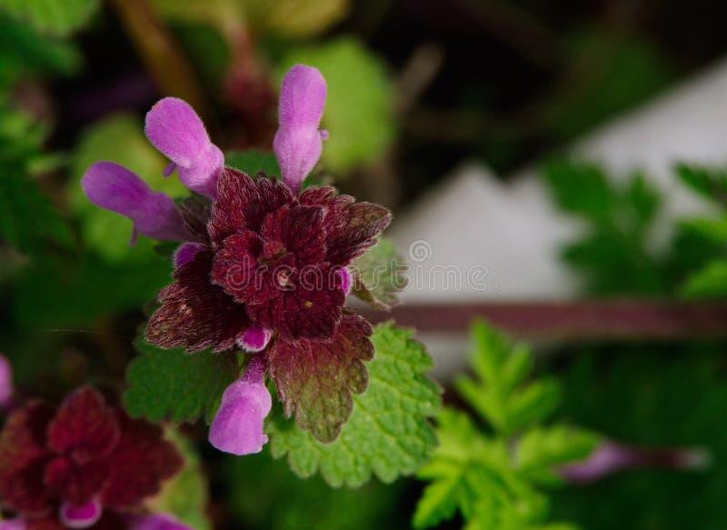Lamium purpureum lub Nieżywa pokrzywa fotografia stock