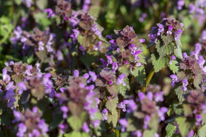 Lamium purpureum, znać jako czerwona jasnota, purpurowa jasnota zdjęcie royalty free