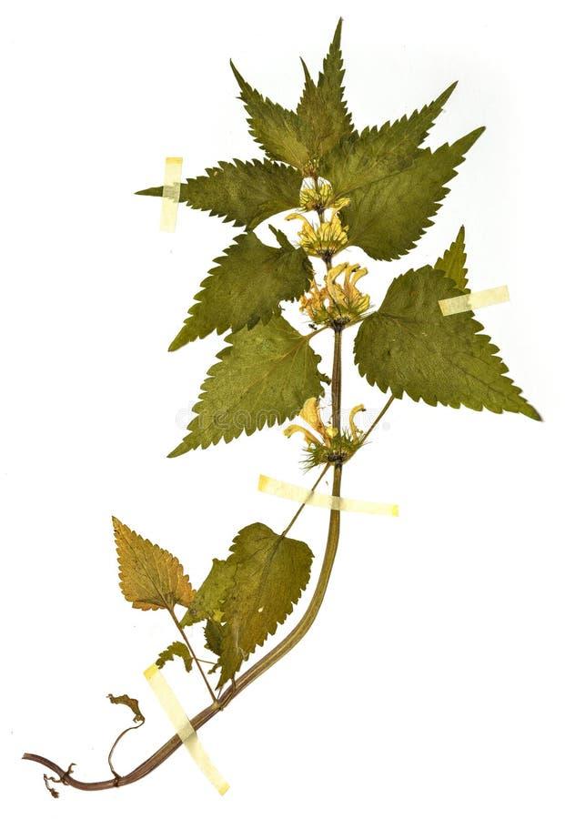 Lamiumalbum - Herbariumblatt stockbild