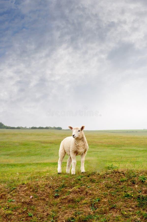 Lamm auf einer Landschaft lizenzfreie stockbilder