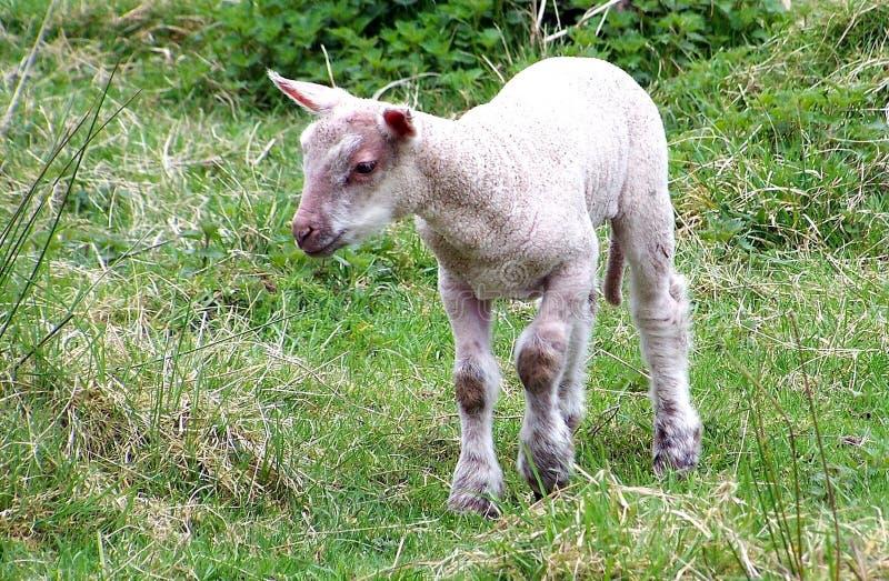 Lamm, ein Lamm in einer Wiese im Sommer stockbilder