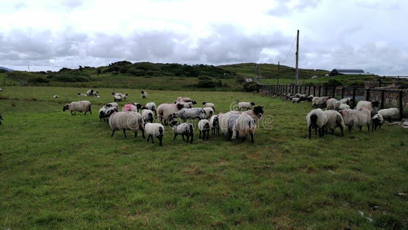 Lamm i en irländsk äng royaltyfri bild