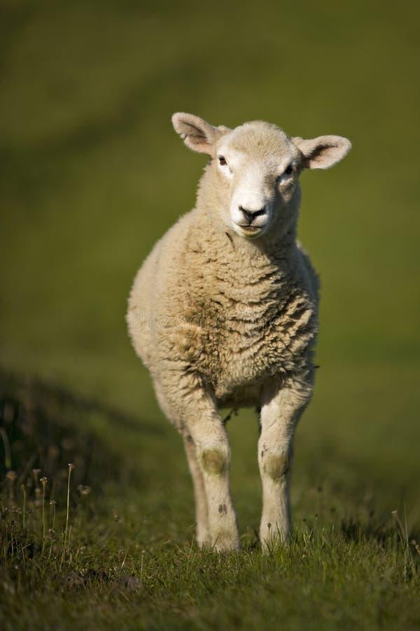 Lamm i ett trädkulleområde royaltyfri foto