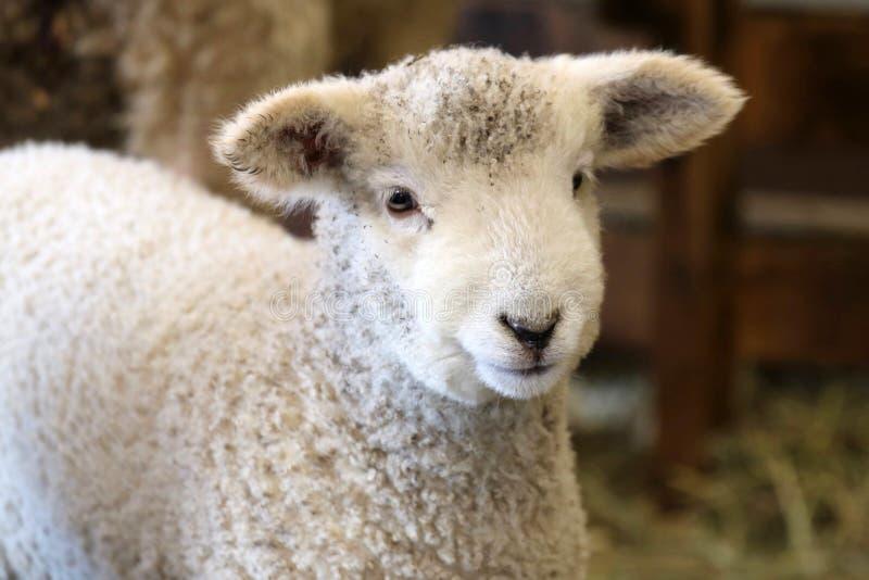 Lamm i ladugården arkivfoton