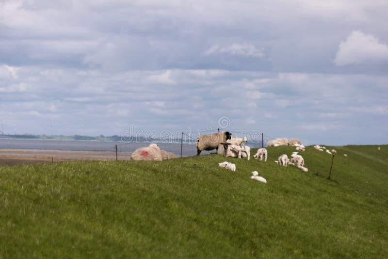 Lamm på diket av Westerhever royaltyfria foton