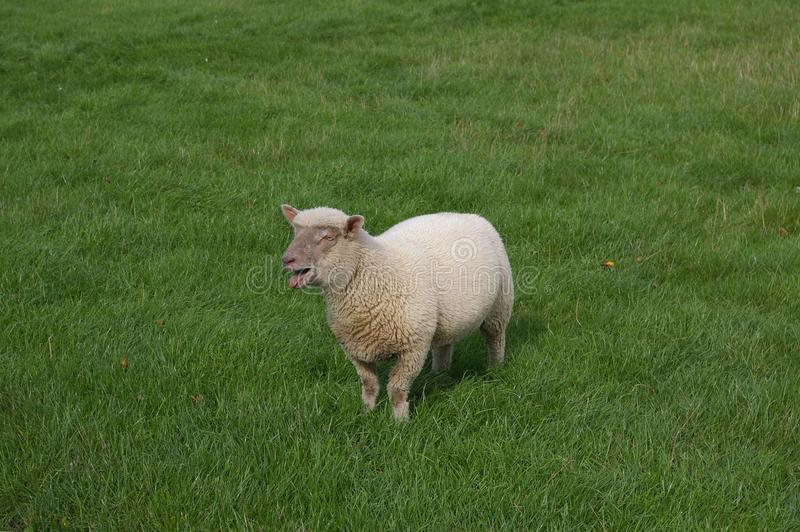 Lamm som bleeting i gräsäng royaltyfri fotografi