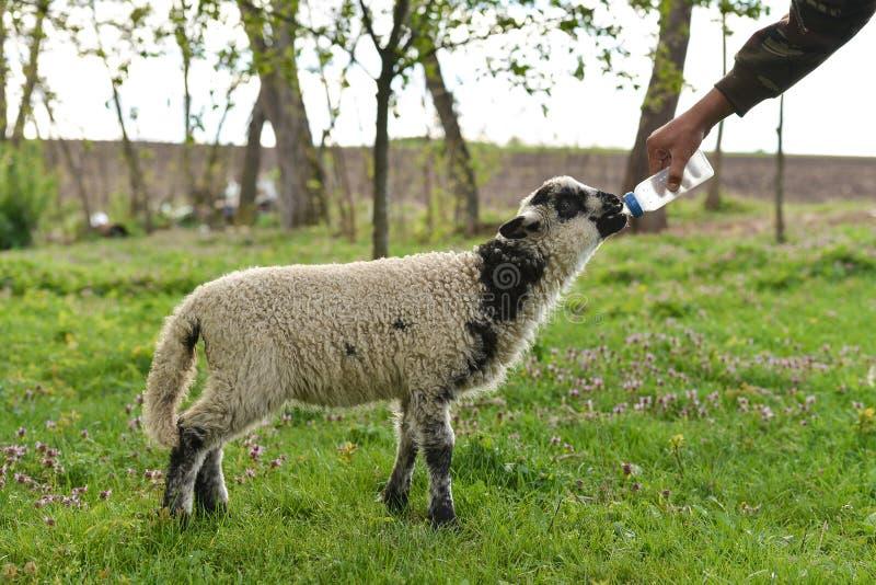 Lamm som borttappat hans moder som är handen, matade vid en bonde arkivfoton