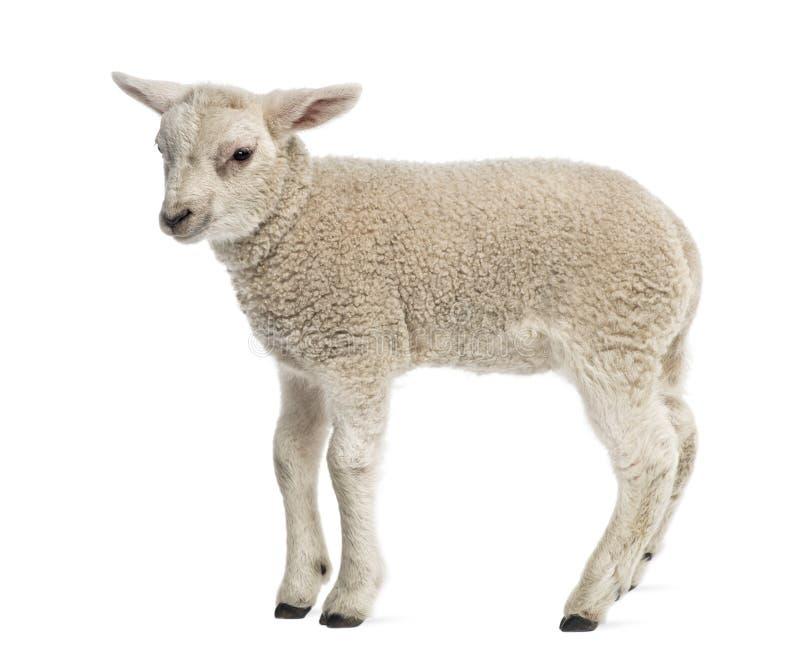 Lamm (8 Wochen alt) lizenzfreies stockfoto